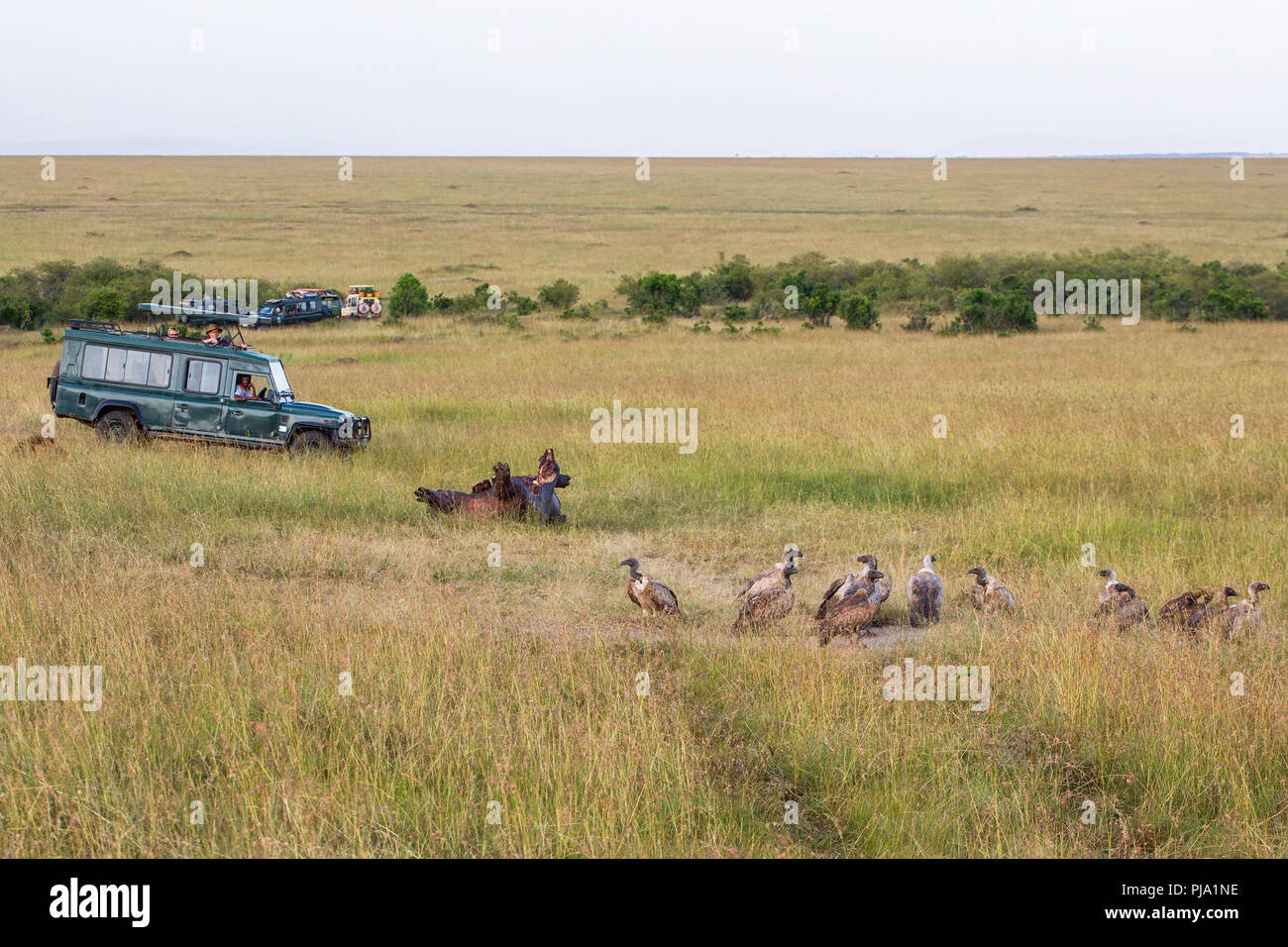 Carcasses with waiting vultures and safari vehicles with tourists - Stock Image