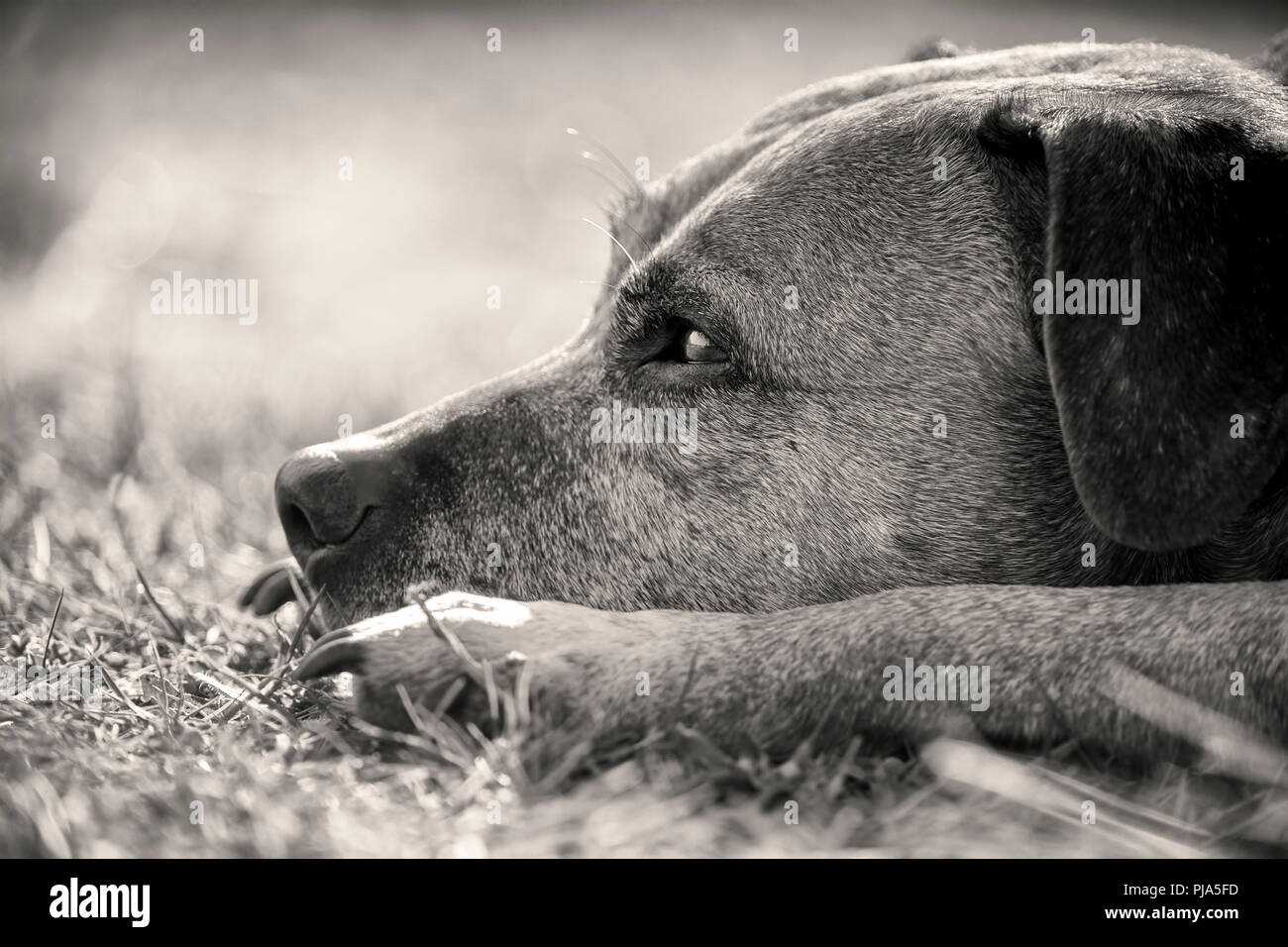 Closeup black and white headshot of a staffordshire bull terrier - Stock Image