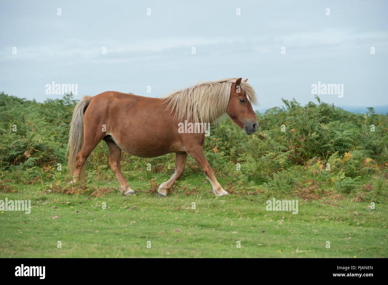 wild pony on dartmoor - Stock Image