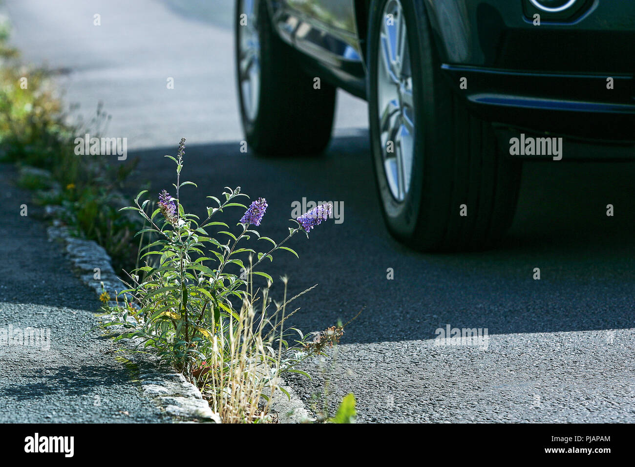 A small purple budleia butterfly bush that's self seeded in a gutter and flourished against the odds despite the cars going past - Stock Image