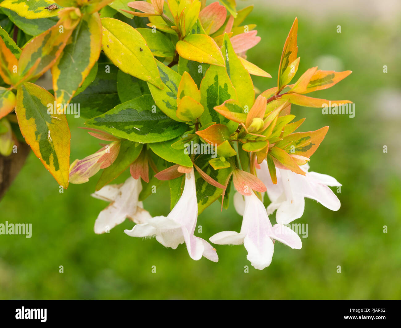 Yellow Gold And Green Foliage Of The Hardy Evergreen Shrub Abelia