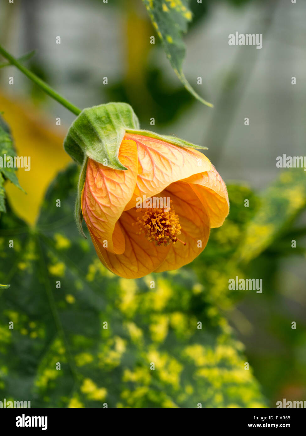 Pale orange flower and yellow spotted variegated leaves of the tender wall shrub, Abutilon pictum 'Thompsonii' - Stock Image