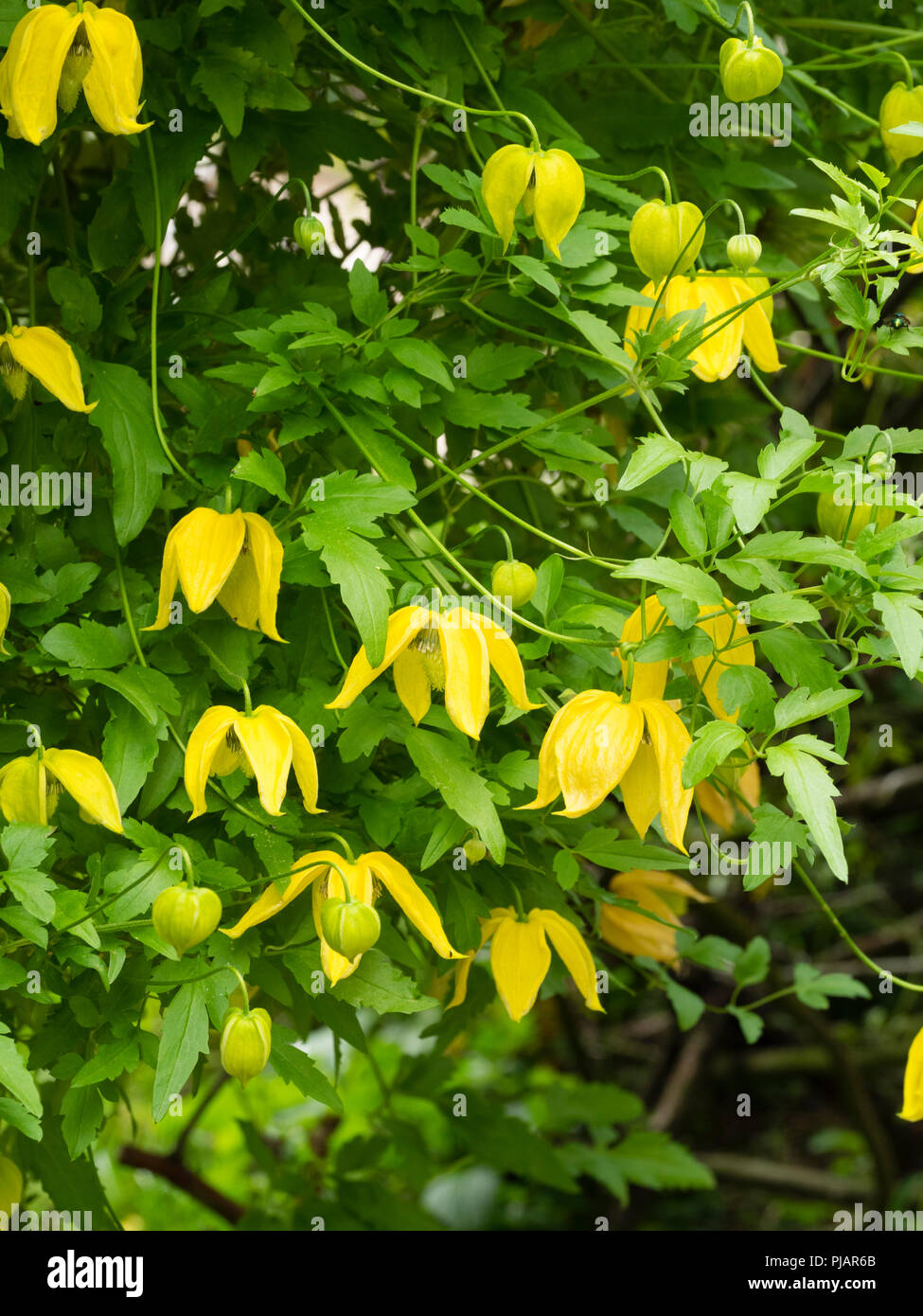 Yellow bell flowers of the hardy climber, Clematis tangutica 'Lambton Park'.  Flowers are larger than the species, - Stock Image