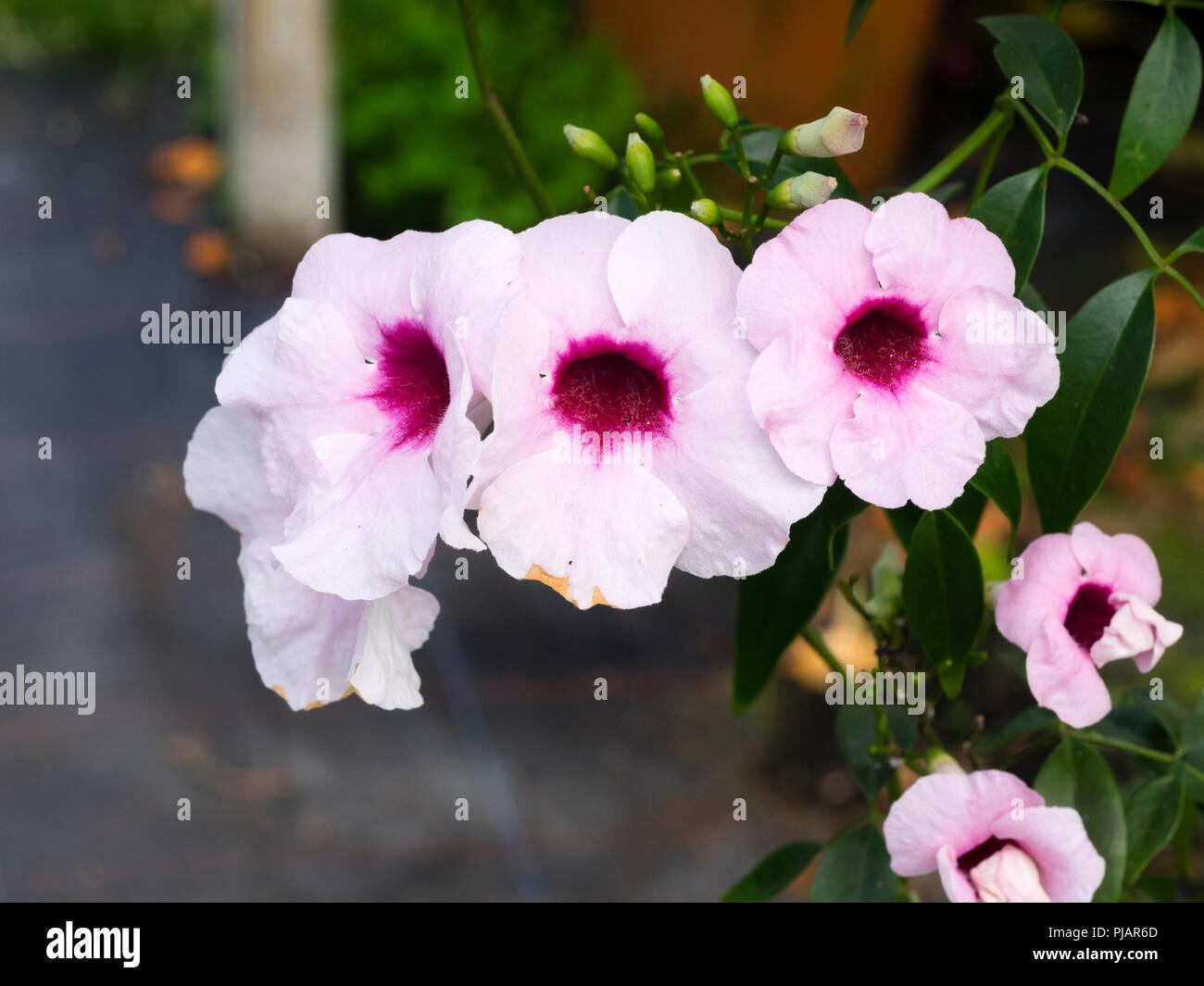 Red throated white flowers of the tender Australian climber, Pandorea jasminoides - Stock Image