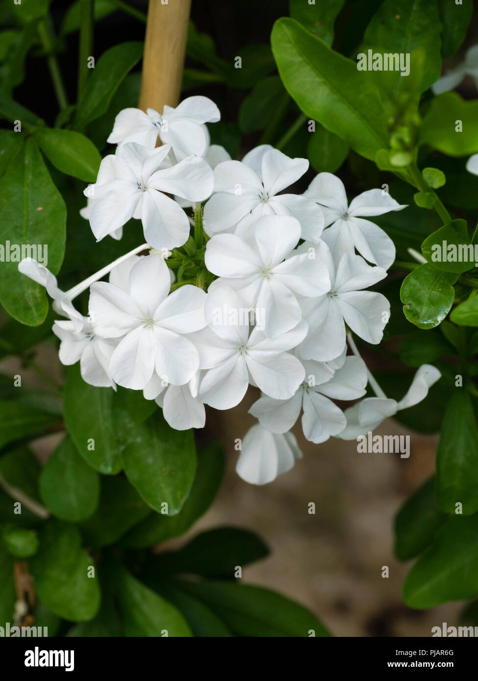 A cluster of flowers stock photos a cluster of flowers stock white flowers in a tight cluster of the tender evergreen scrambler plumbago capensis f izmirmasajfo