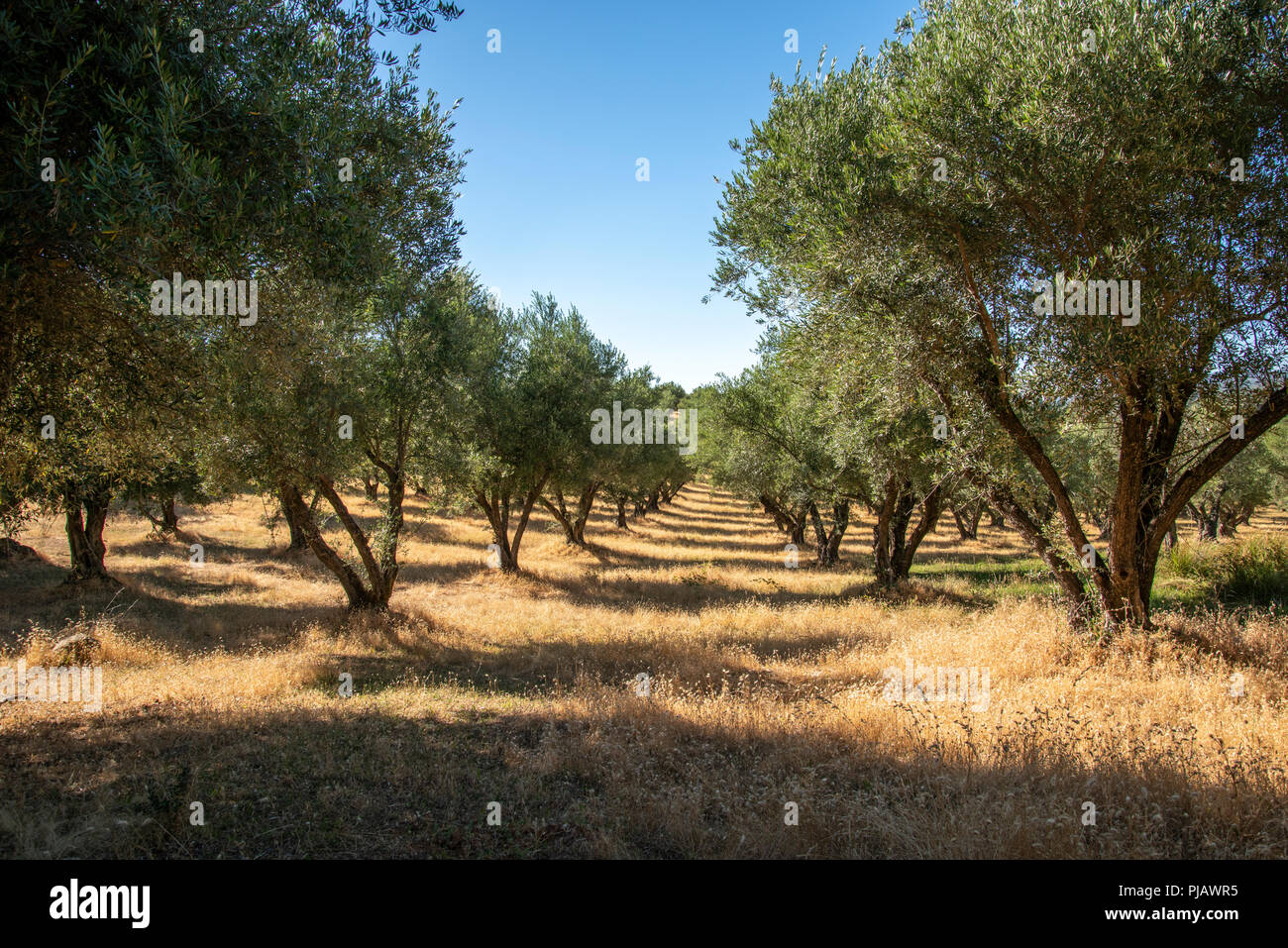 Olive Tree Grove Near Bangor California Stock Photo 217827993