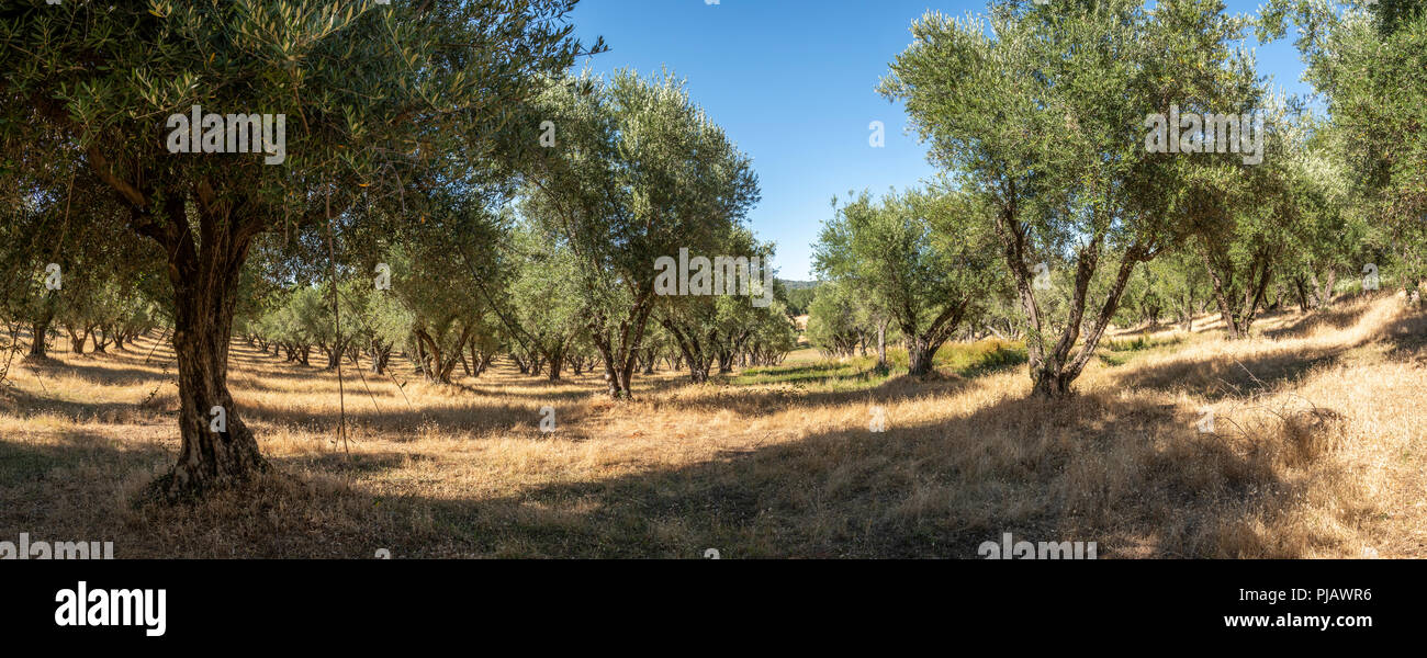 Olive Trees Orchard California Stock Photos Olive Trees Orchard
