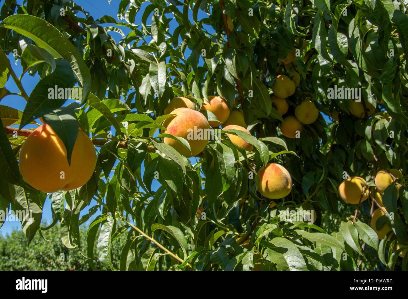Peach orchrd, central California - Stock Image