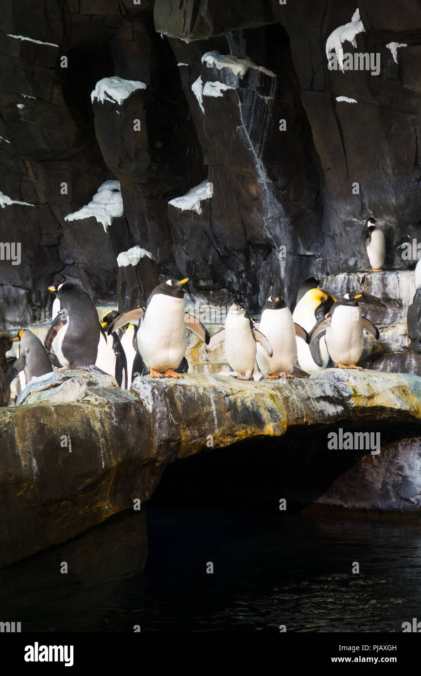 Colonies of penguins displayed at the the Empire of the Penguin exhibit in SeaWorld, Orlando - Stock Image