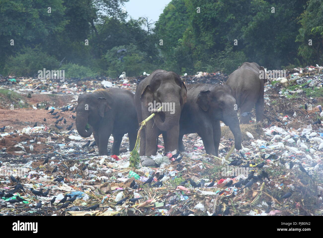 Group of wild elephants looking for in the middle of dumping ground (Sri Lanka, Trincomalee) - Stock Image