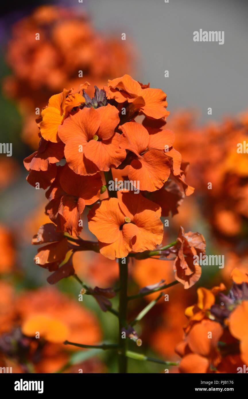 Erysimum 'Apricot Delight' or 'Apricot Twist' (Wallflower) Grown at RHS Garden Harlow Carr, Harrogate, Yorkshire. England, UK - Stock Image