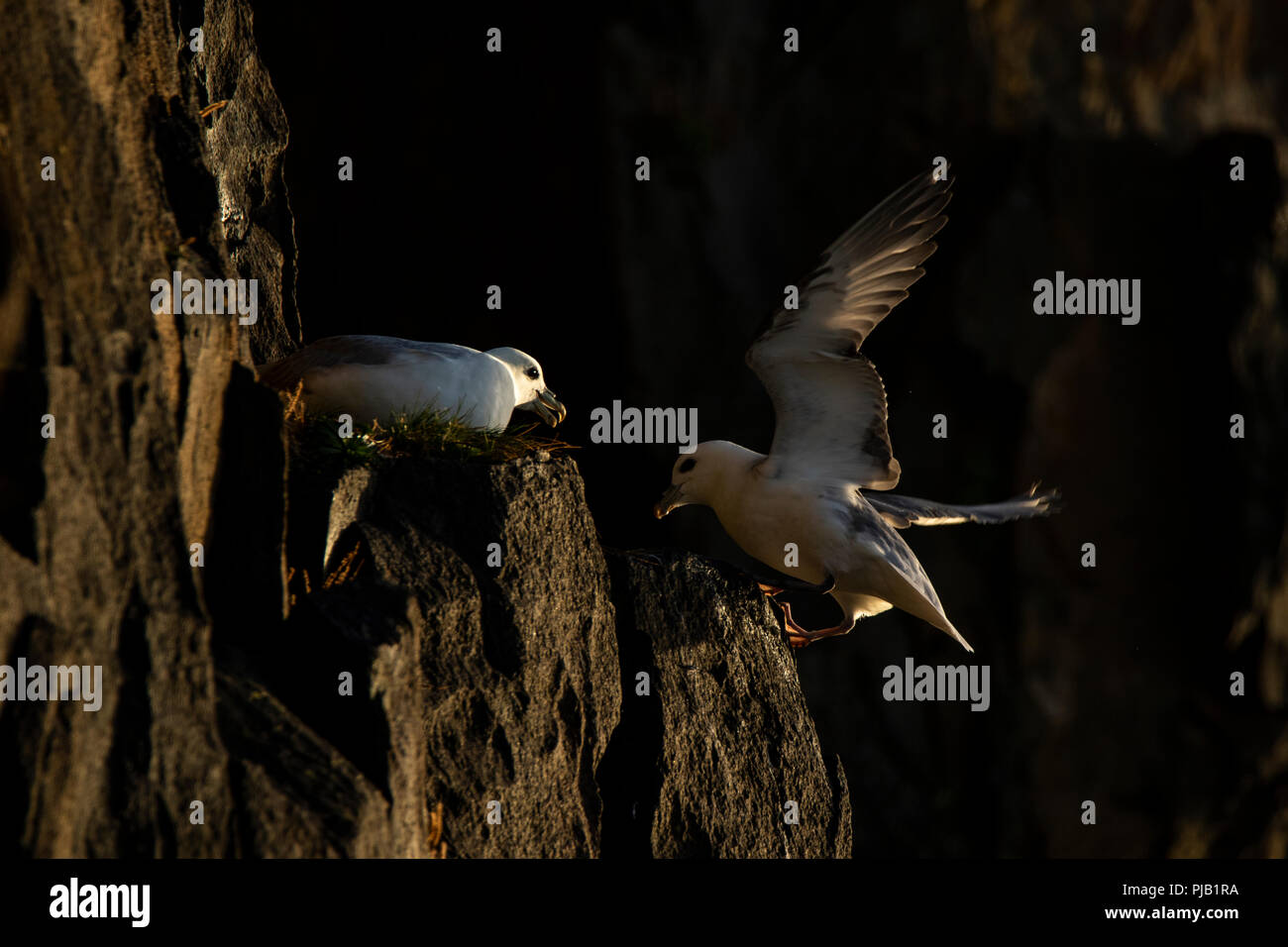 Fulmar landing on cliff edge by other fulmar on the cliffs at Hawkcraig, Aberdour - Stock Image