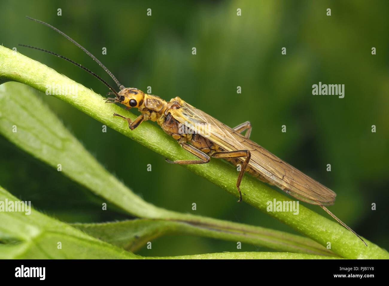 Stonefly (Isoperla grammatica) perched on creeping buttercup. Tipperary, Ireland - Stock Image