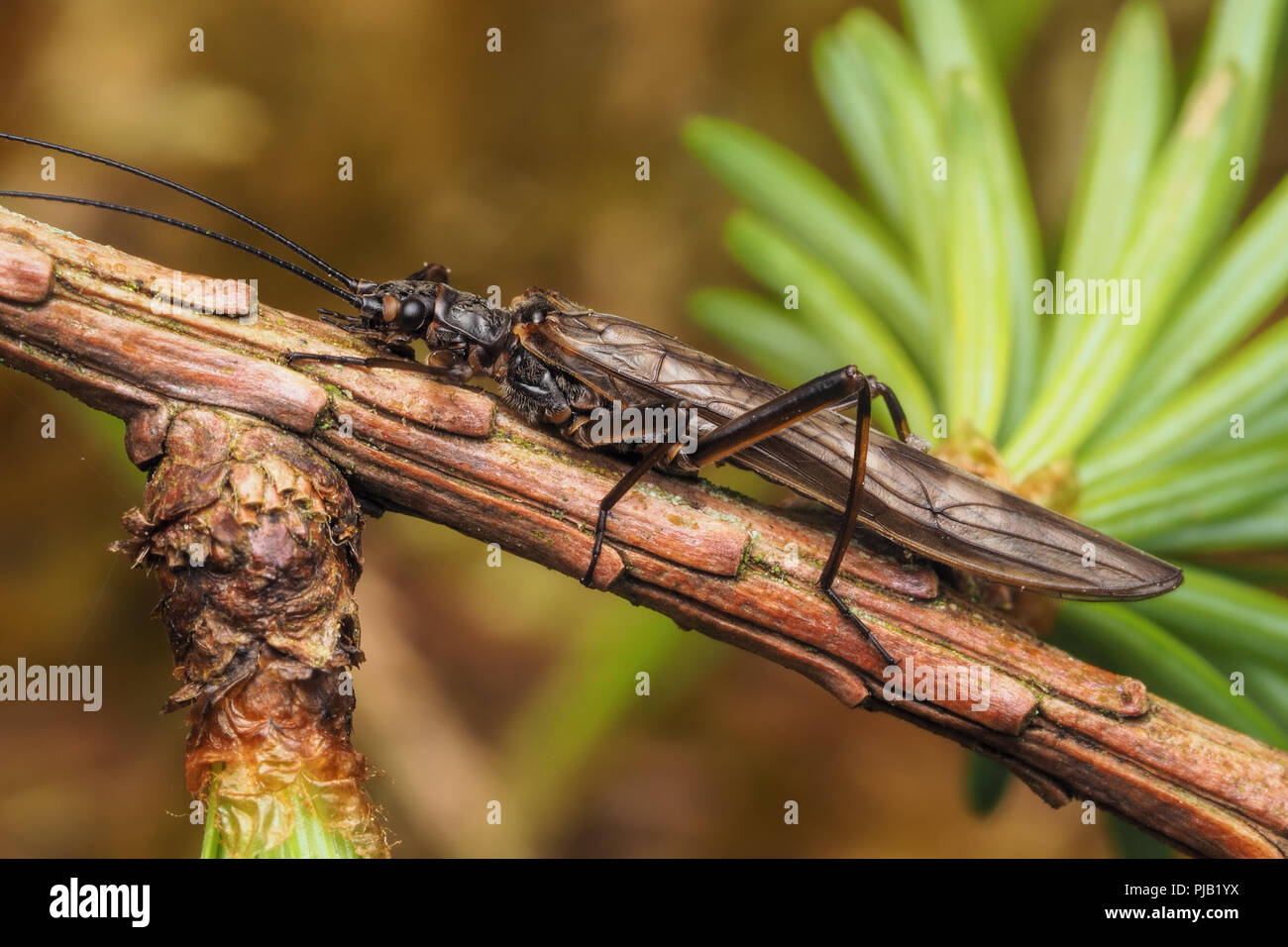 Stonefly perched on branch of conifer tree. Tipperary, Ireland - Stock Image