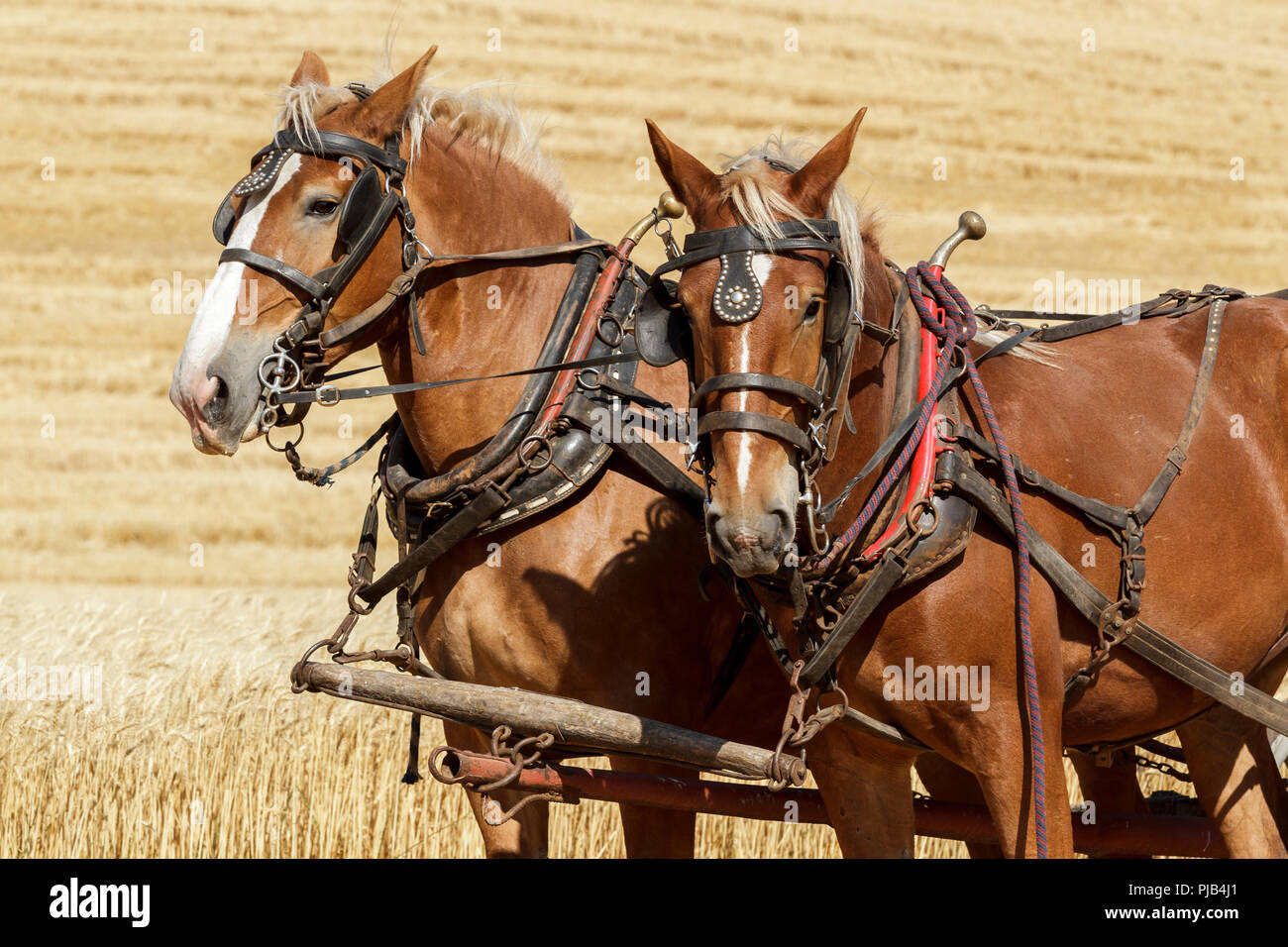 Two draft horses harnessed up and hitched to the wagon at the Colfax threshing bee in Colfax, Washington. - Stock Image