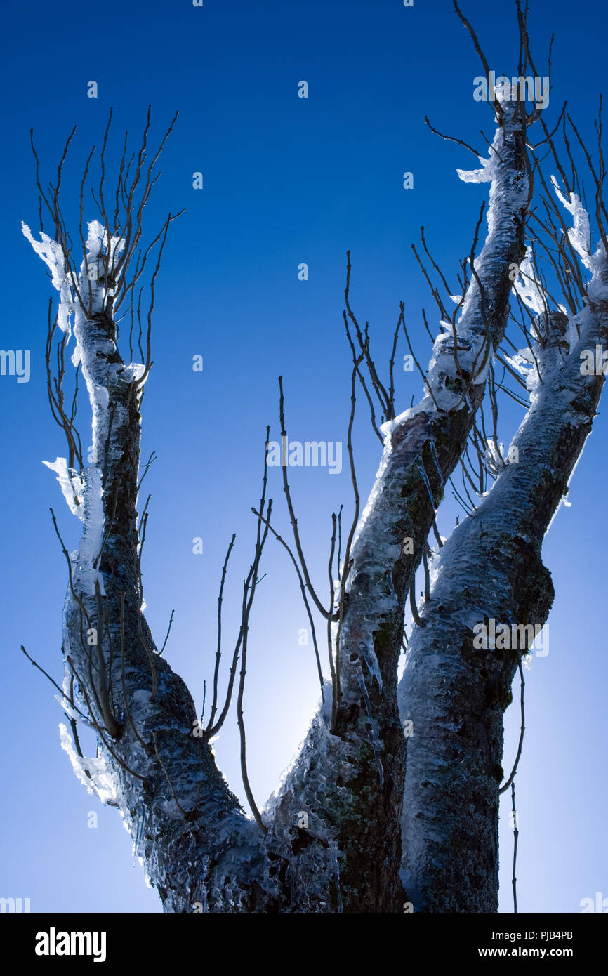 detail of tree covered with permafrost on a clear sunny winter's day high up in the Cevennes, France - Stock Image