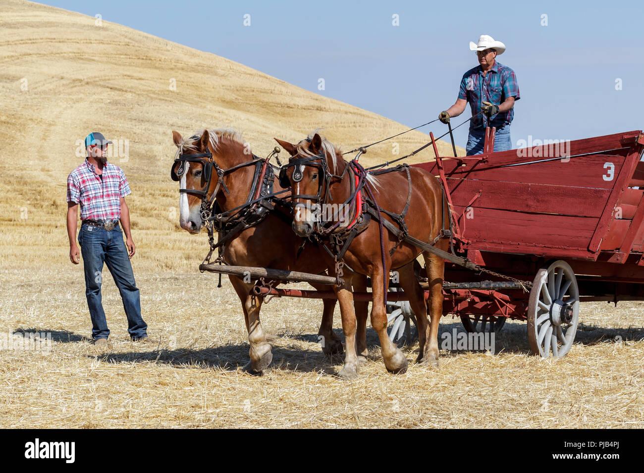 Colfax, Washington USA - 09-03-2018. Editorial photo of men driving draft horses to pull a wagon at the annual Colfax threshing bee in Colfax, Washing - Stock Image