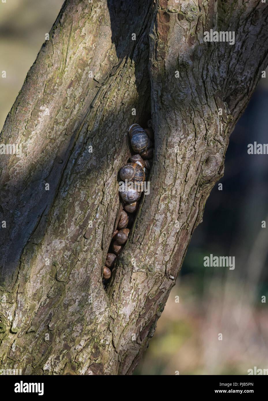 Hibernating land snails, Helix aspersa, in a crack in tree, Lancashire, UK - Stock Image