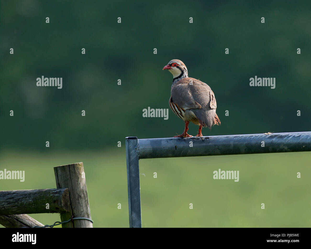 Red-legged Partridge, Alectoris rufa, sat on gate, Lancashire UK - Stock Image