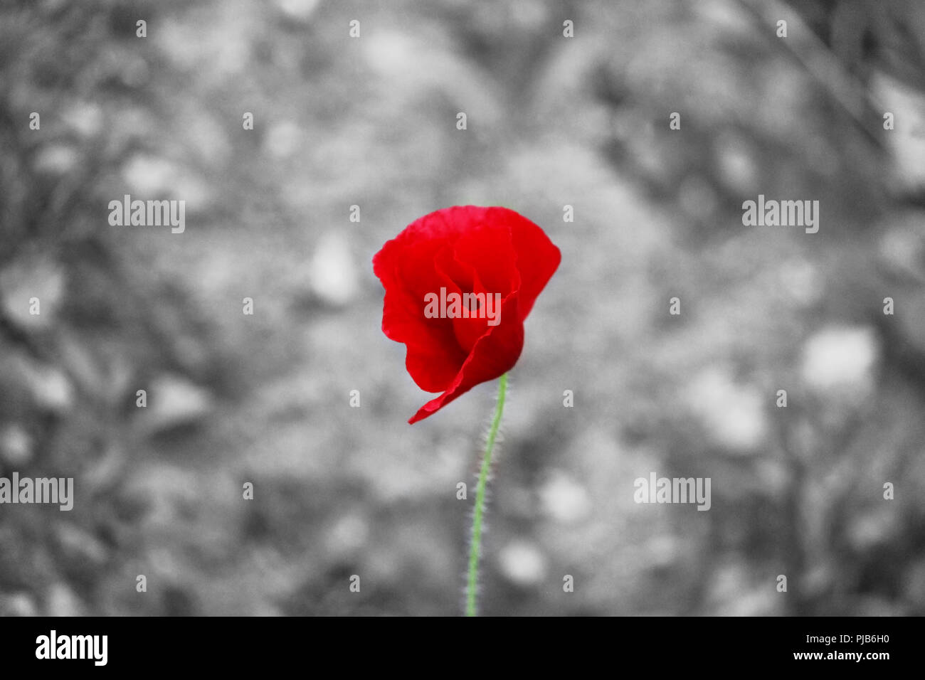 little red poppy on a gray background. - Stock Image