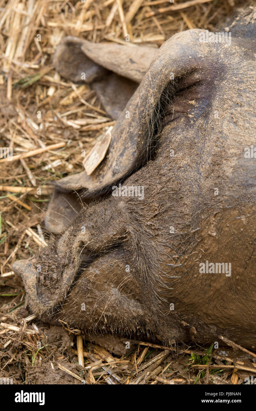 a large pig or boar fast asleep on some straw. - Stock Image