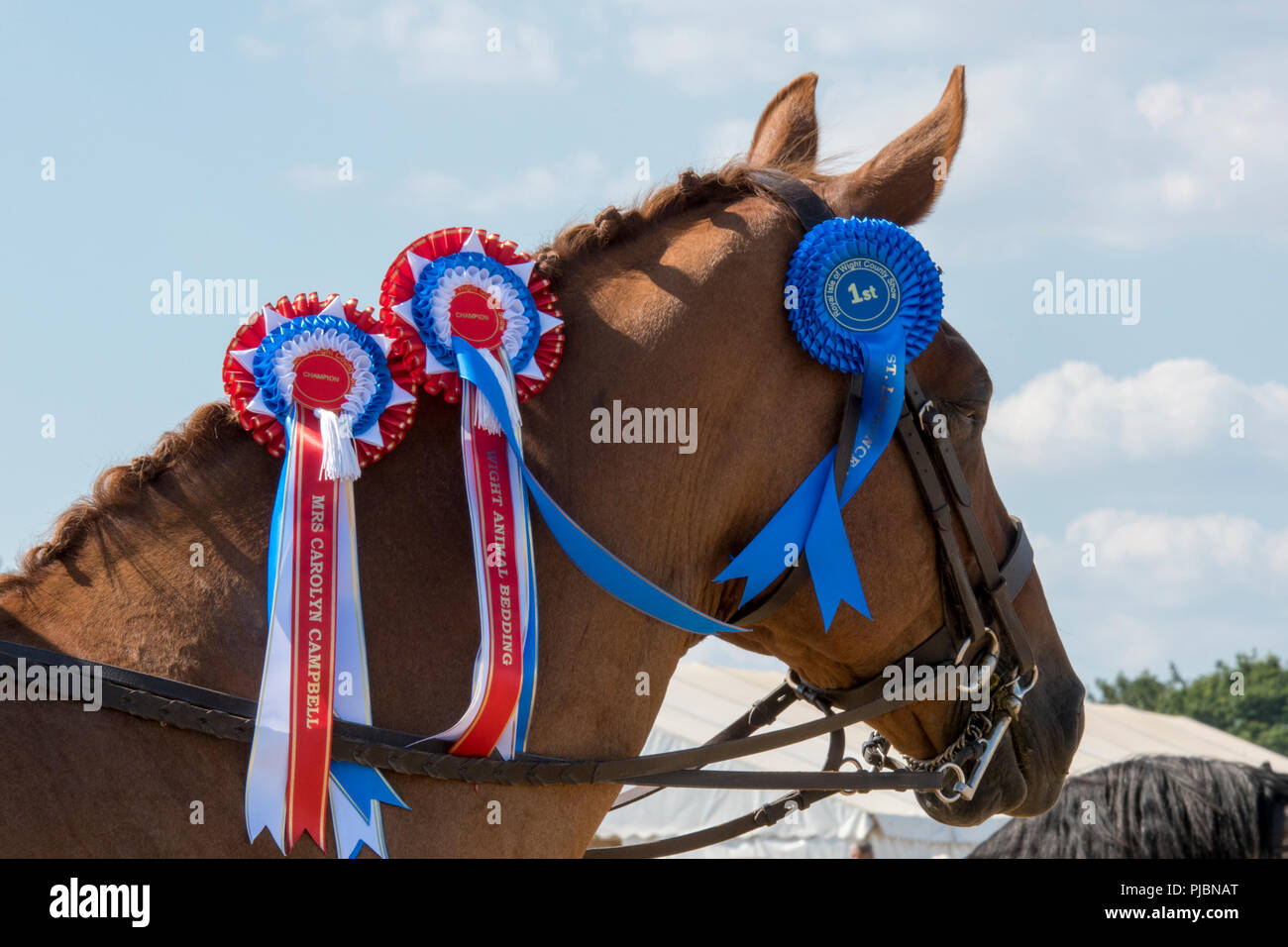 a bay coloured horse with winning prize rosettes at a horse or equestrian showjumping event. - Stock Image