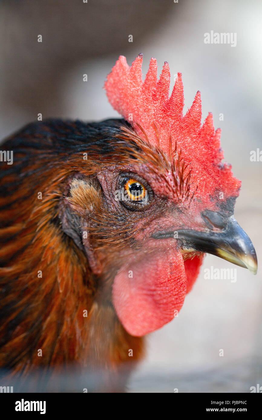 Backyard Chickens - Stock Image
