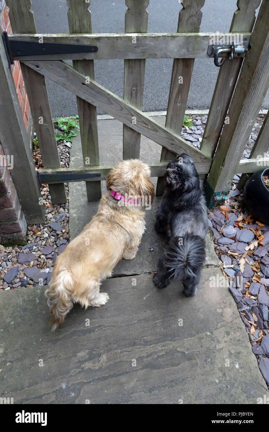 2 small dogs waiting at the garden gate in Bawtry, near Doncaster - Stock Image