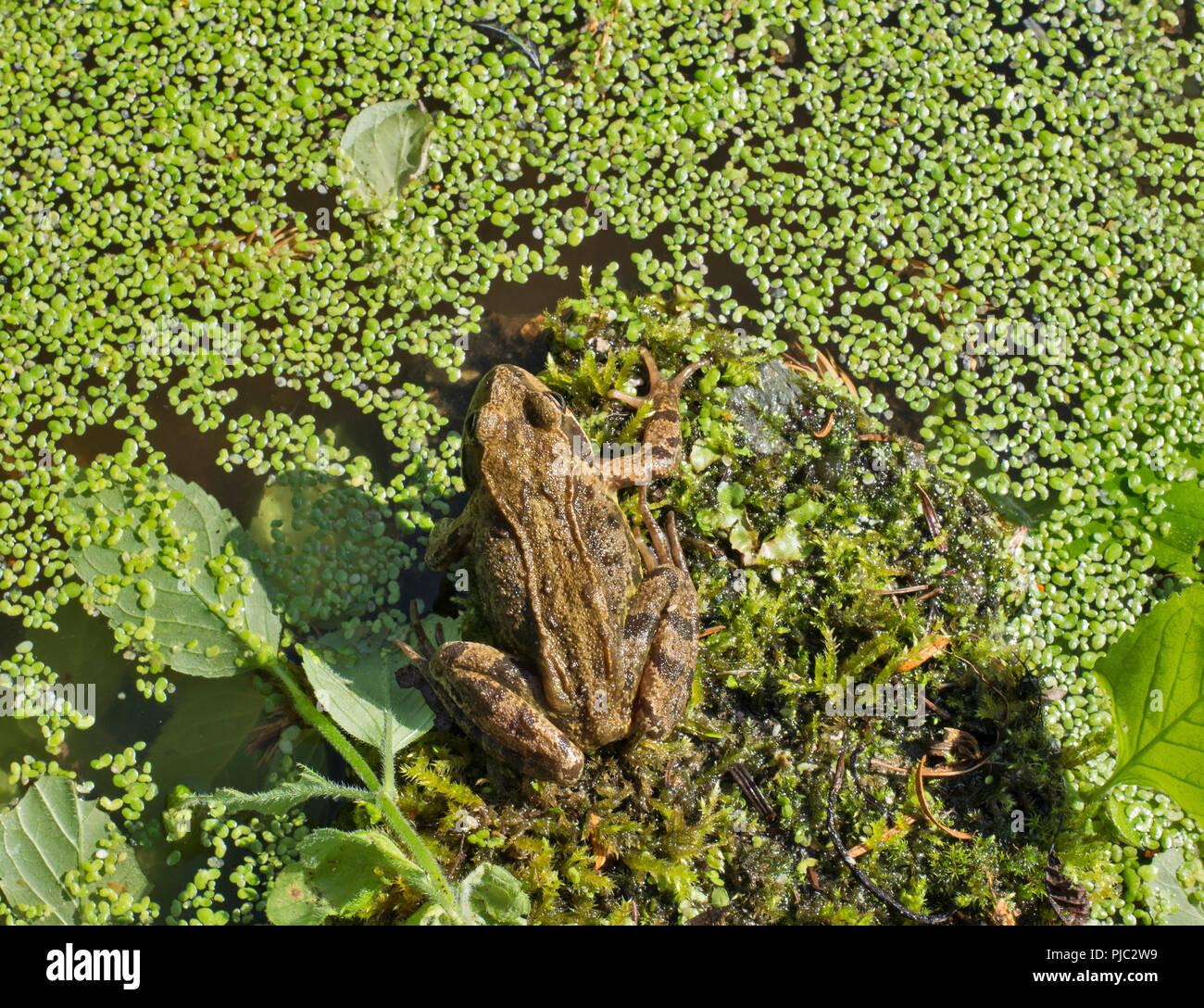 Wildlife Pond Surrounded By Pebbles: Rana Temporaria Wildlife Nature Stock Photos & Rana