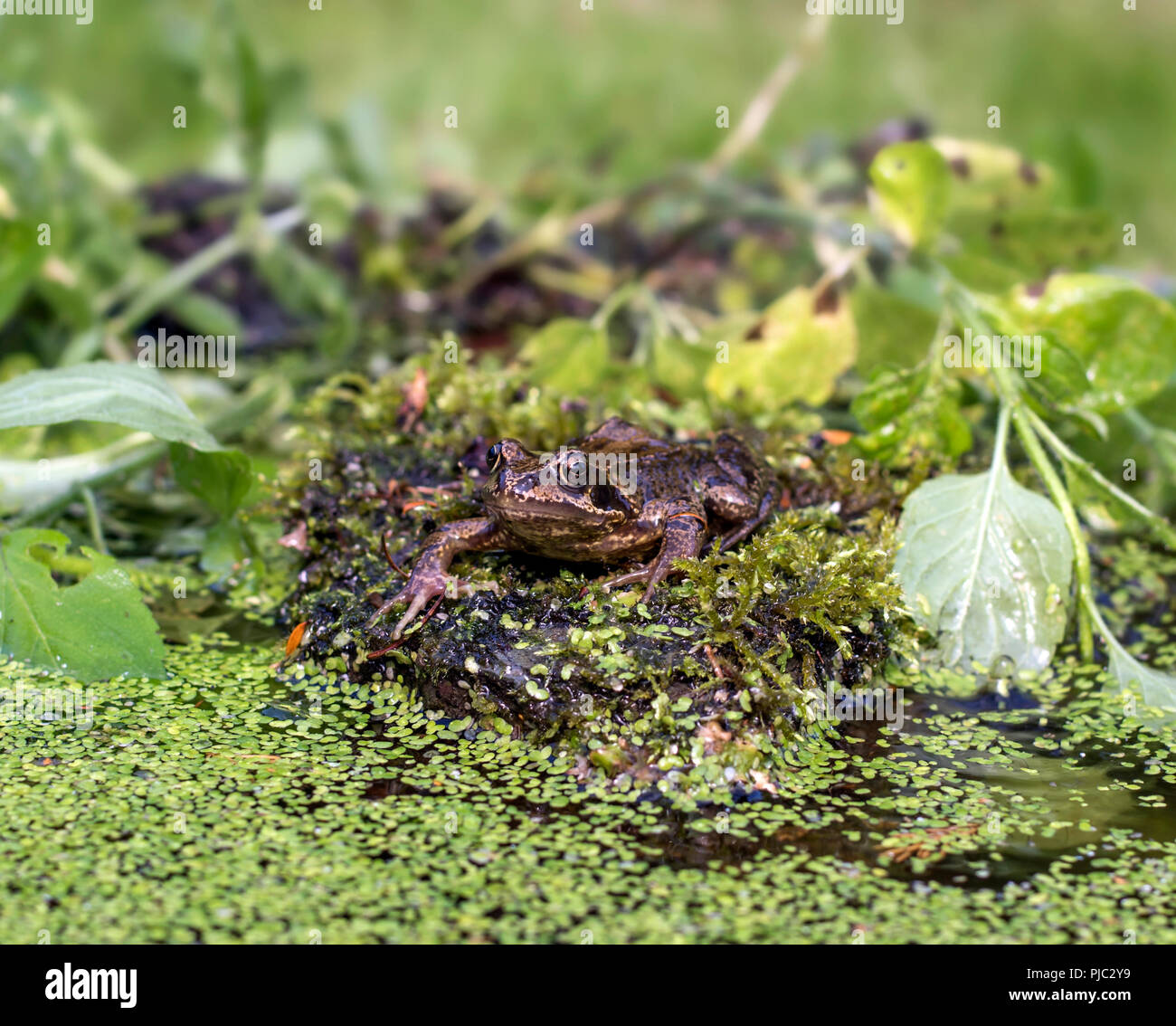 Eye level, face on portrait of European common frog sitting on rock surrounded by water plants. - Stock Image
