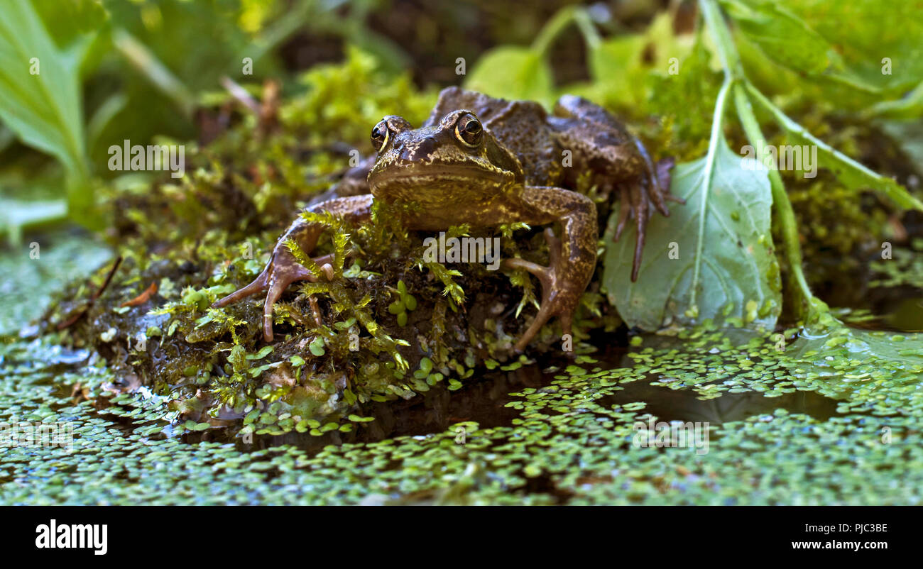 Eye level, face on portrait of European common frog, Rana Temporaria, sitting on rock surrounded by water plants. Stock Photo