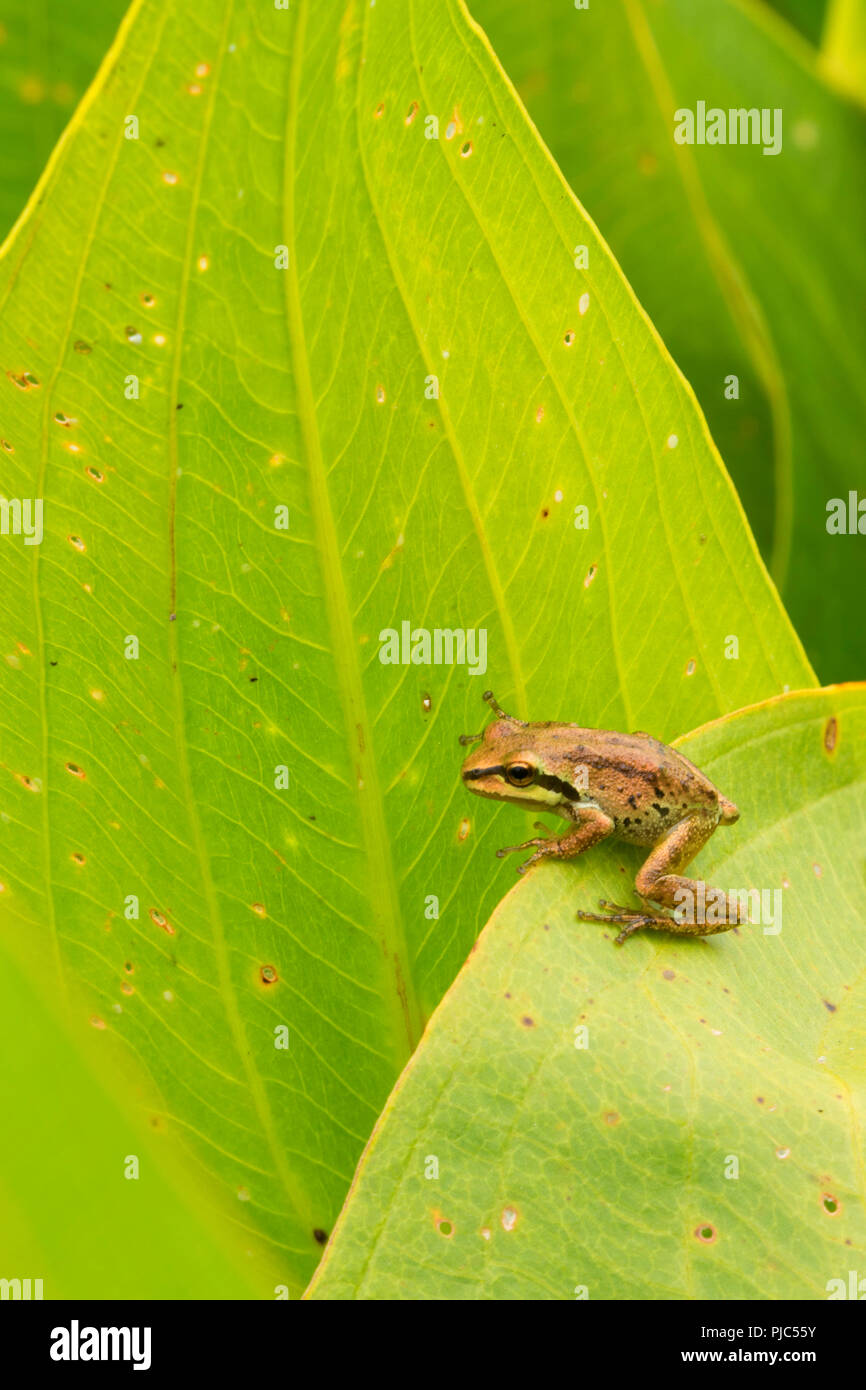 Pacific treefrog at Egret Marsh, Ankeny National Wildlife Refuge, Oregon - Stock Image