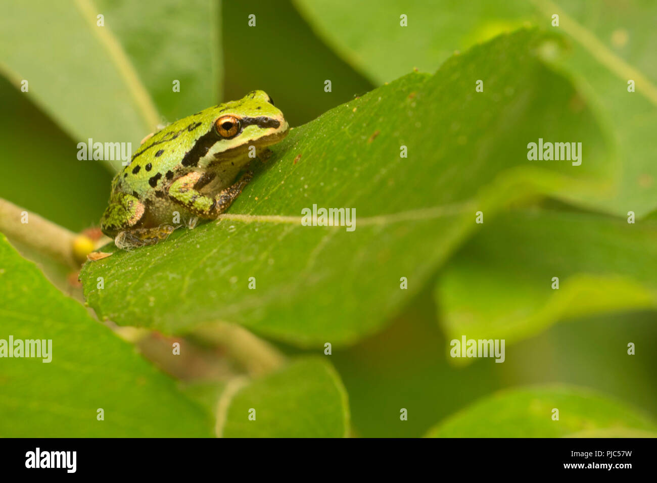 Pacific treefrog at Frog Marsh, Ankeny National Wildlife Refuge, Oregon - Stock Image