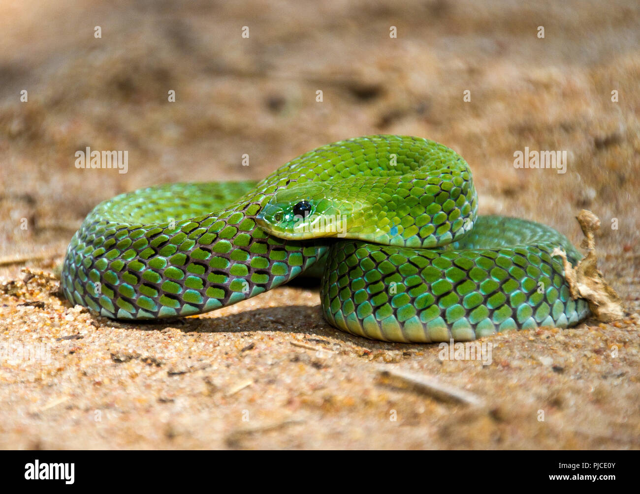 The verdant colours of the Velvety Green Night Adder. A mildly venomous member of the viper family that hunts amphibians in the wet grasslands. - Stock Image