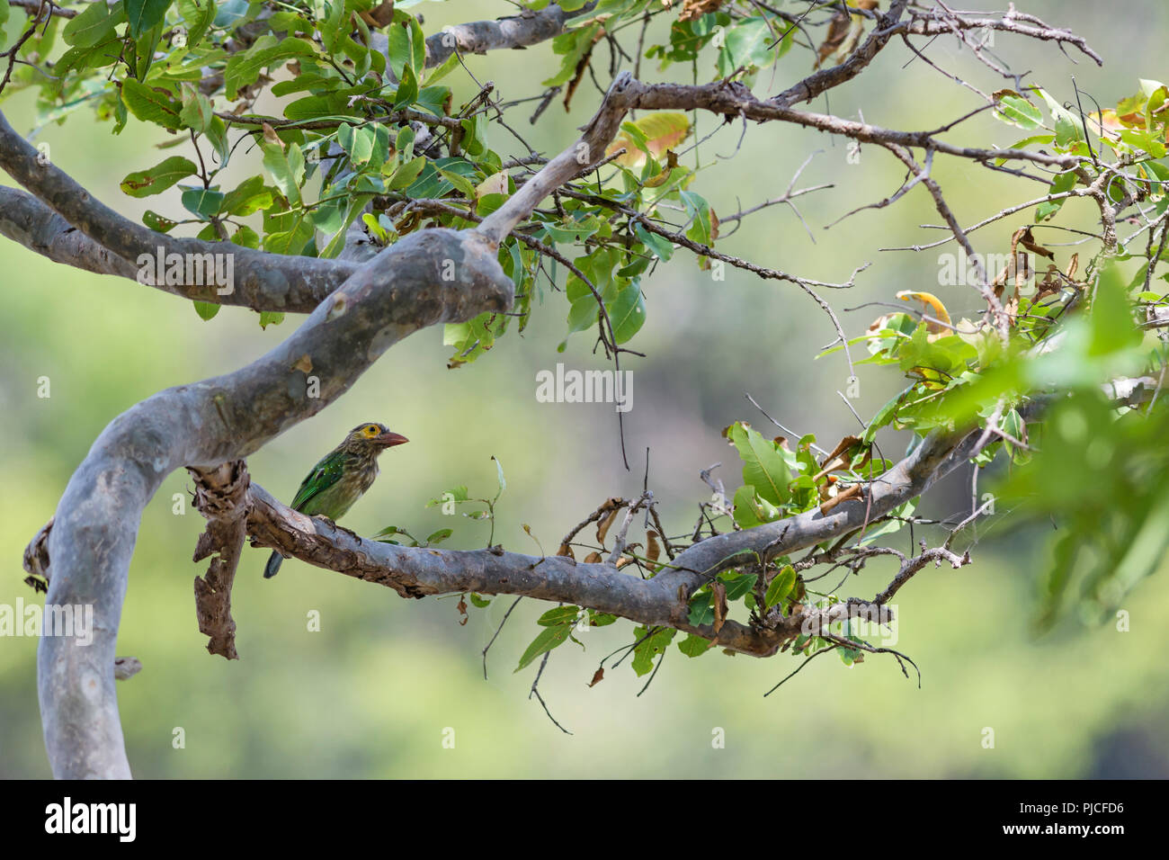 Brown-headed Barbet - Psilopogon zeylanicus, beautiful colored barbet from woodlands of Indian subcontinent, Sri Lanka. - Stock Image