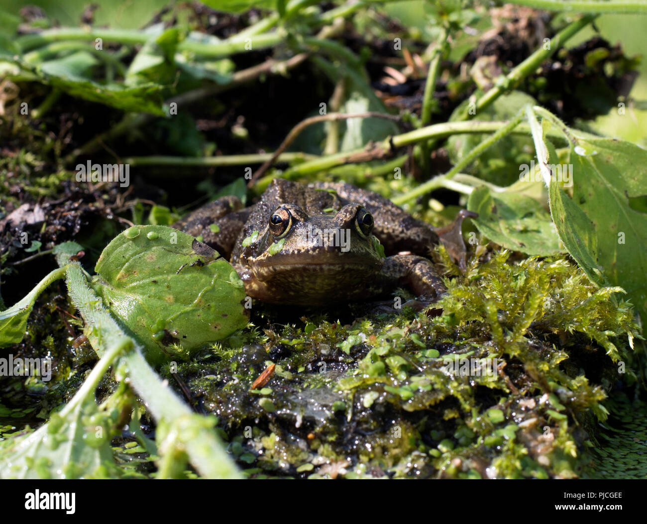 Eye level face on portrait of European common frog, Rana temporaria, sitting on rock surrounded by water plants. - Stock Image