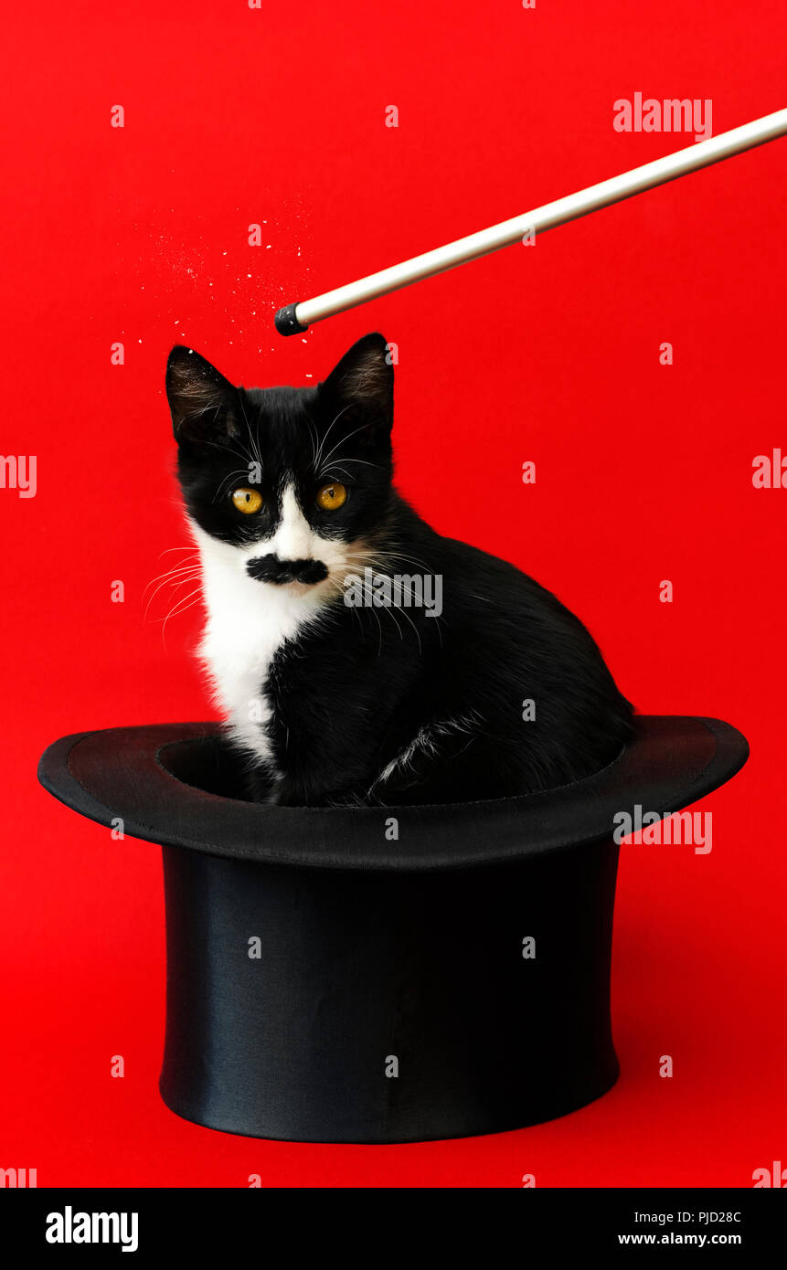 Black and white kitten with black moustache conjured out of a tophat against a red background - Stock Image