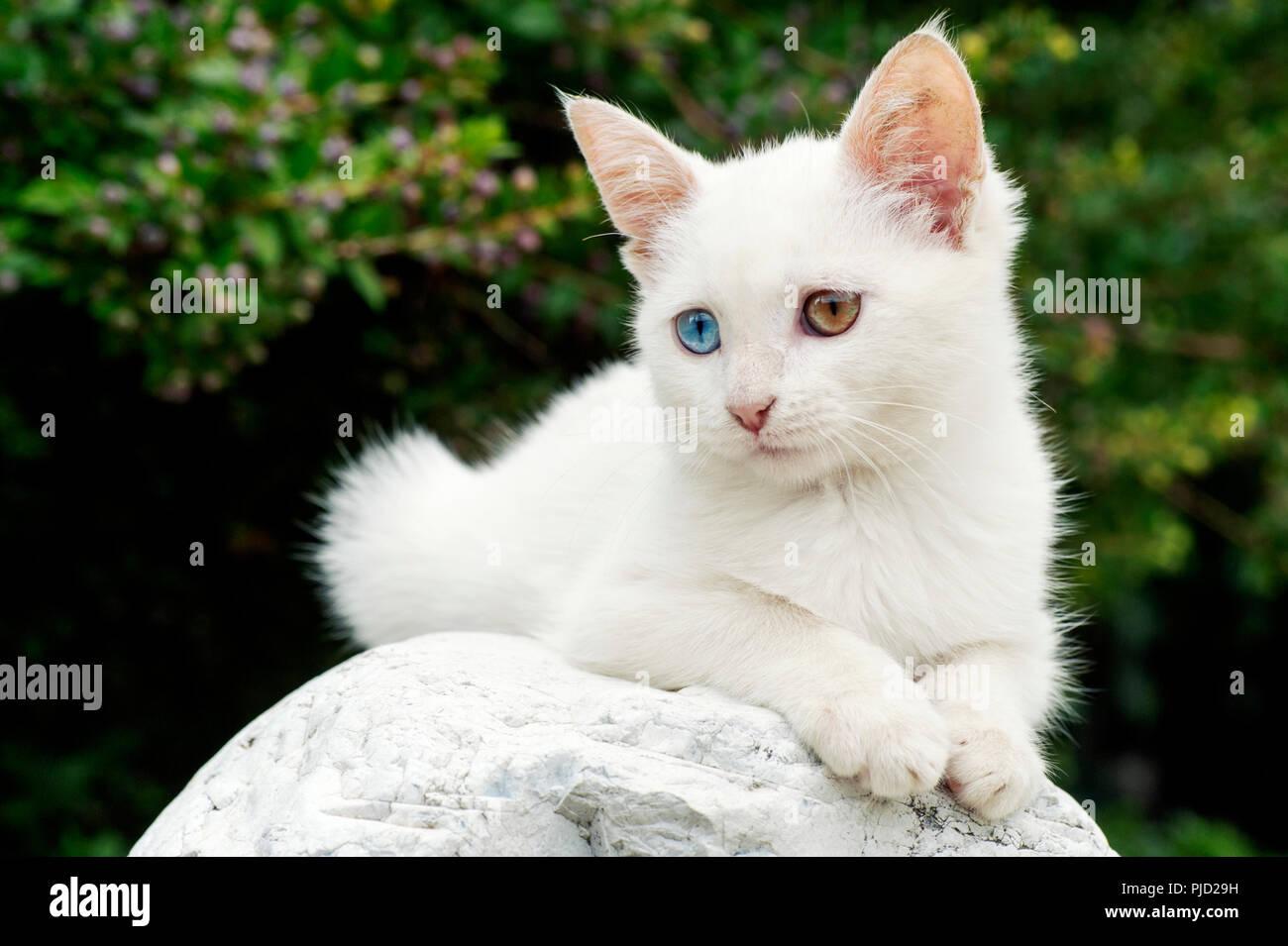 26209970f0 A beautiful white odd eyed kitten lying on a stone outdoors Stock ...