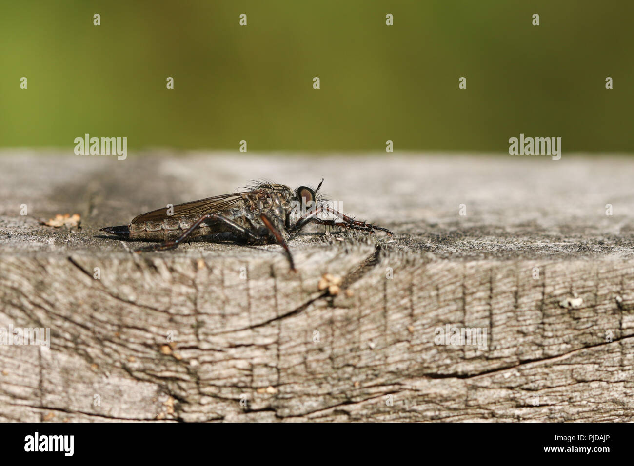 A Common Awl Robberfly (Neoitamus cyanurus) perching on a wooden fence at the edge of woodland. It is hunting for insects to feed on. - Stock Image