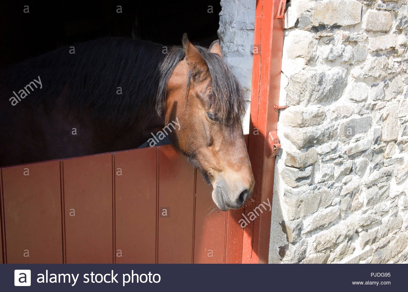 Pedigree 18 year old Welsh Cob horse named 'Gwenni' in the stables at Llanerchaeron country house, Ceredigion, Wales, UK Stock Photo