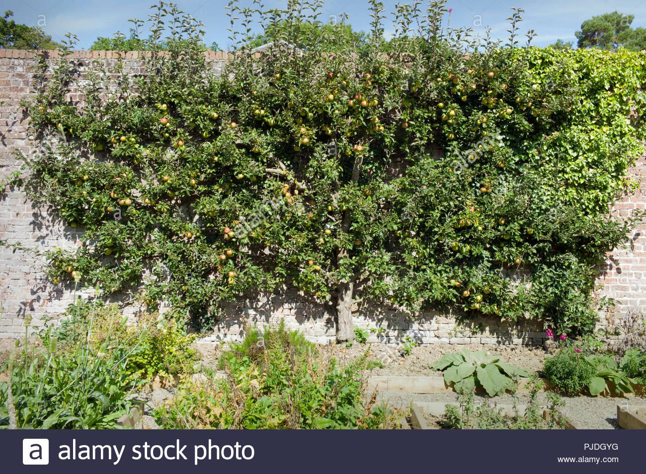 A vintage espalier apple tree, variety 'Jonathen', in the walled kitchen garden at Llanerchaeron Villa, Ceredigion, Wales, UK Stock Photo