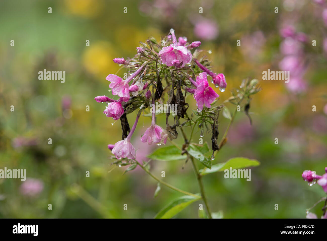 Beautiful Pink Flowers With Raindrops And Soft Background Stock
