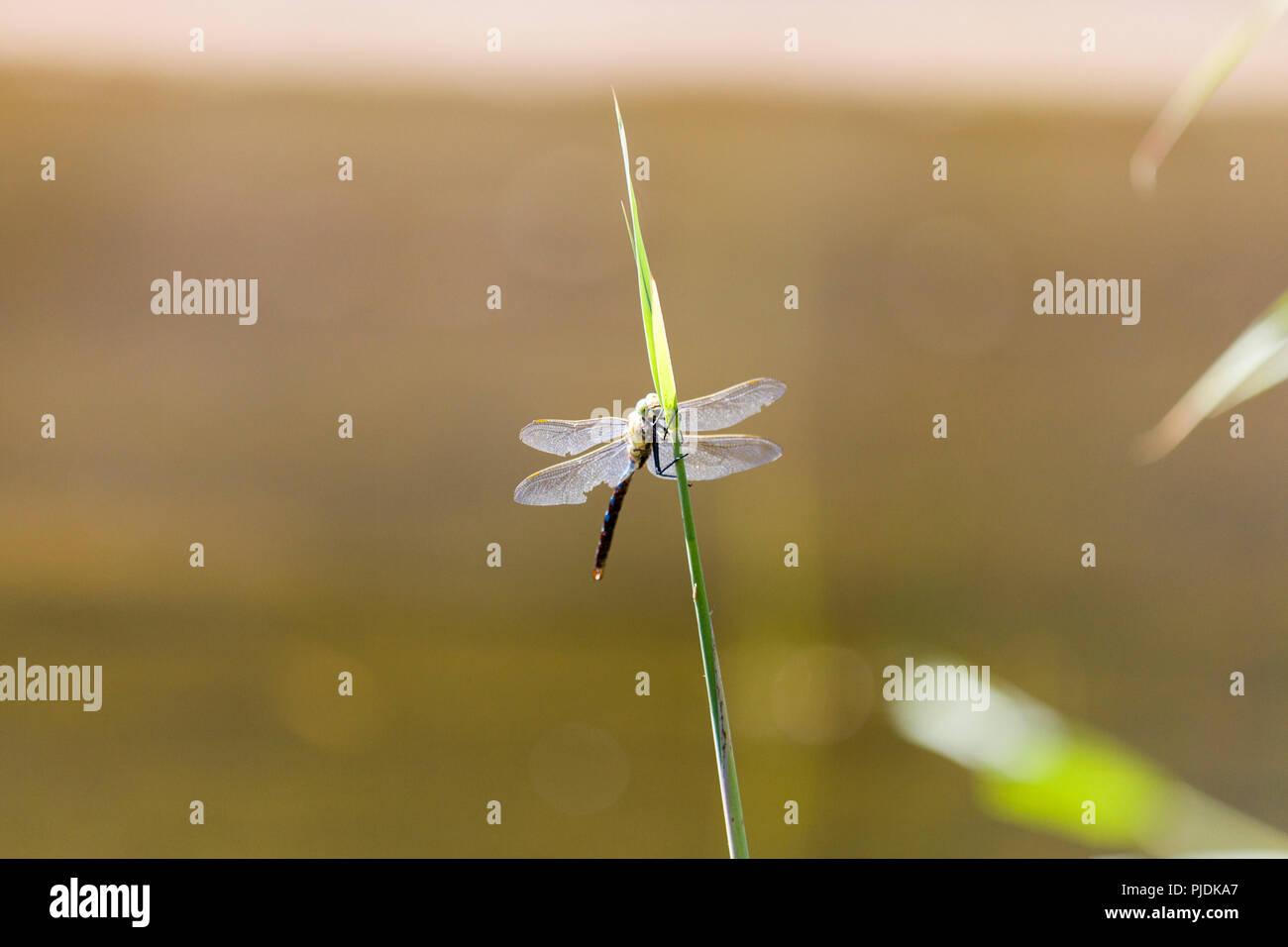Dragon Dragonfly Orange Stock Photos & Dragon Dragonfly
