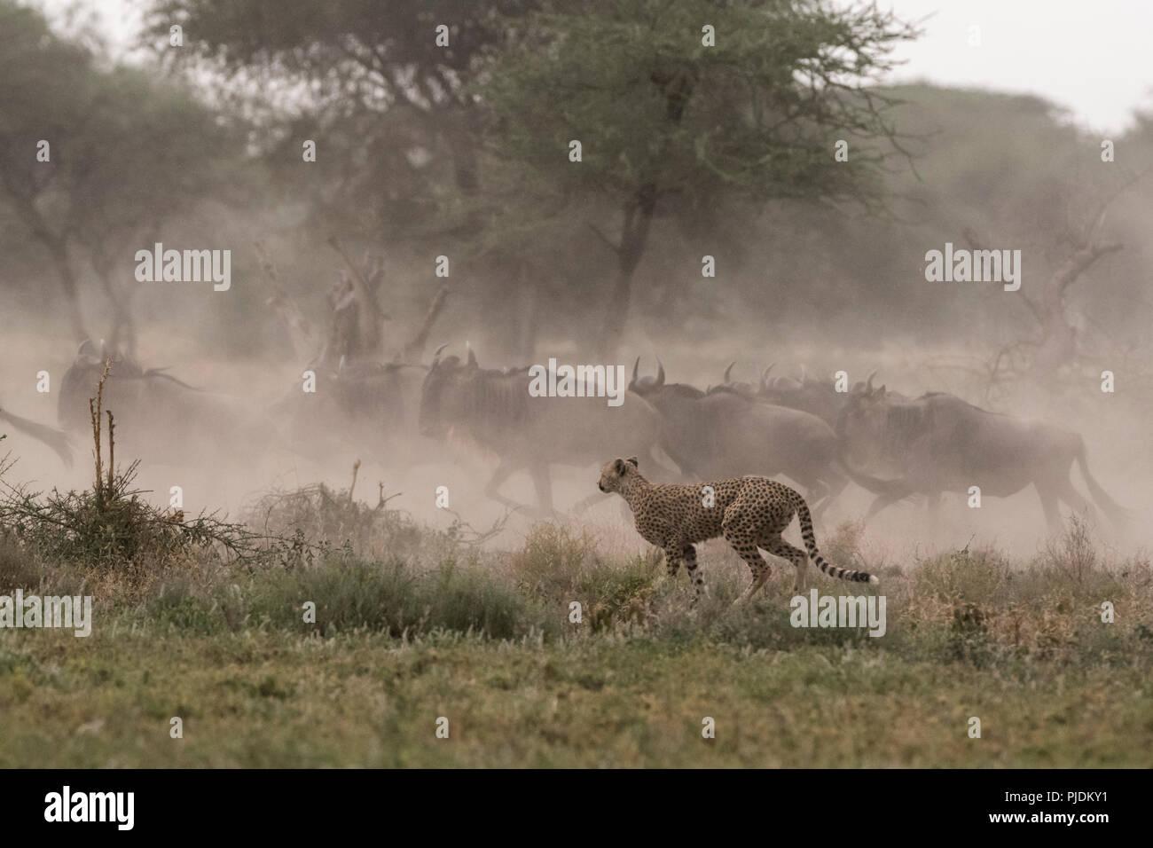 Cheetah hunting blue wildebeest, Ndutu, Ngorongoro Conservation Area, Serengeti, Tanzania Stock Photo