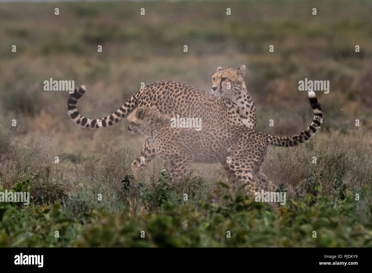 A female cheetah (Acinonyx jubatus) and its cub sparring, Ndutu, Ngorongoro Conservation Area, Serengeti, Tanzania - Stock Image