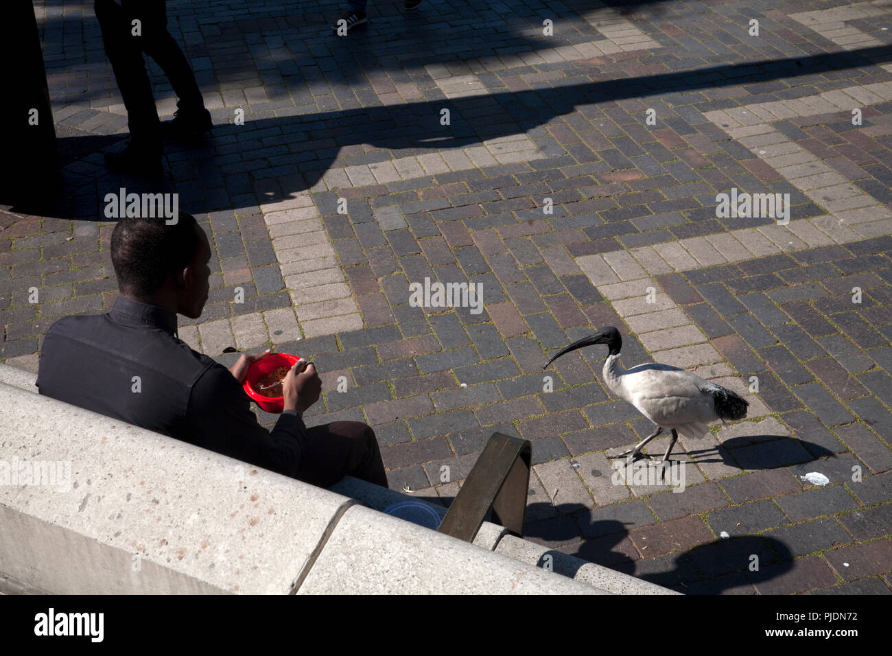 man eating lunch being watched by white ibis circular quay sydney new south wales australia - Stock Image