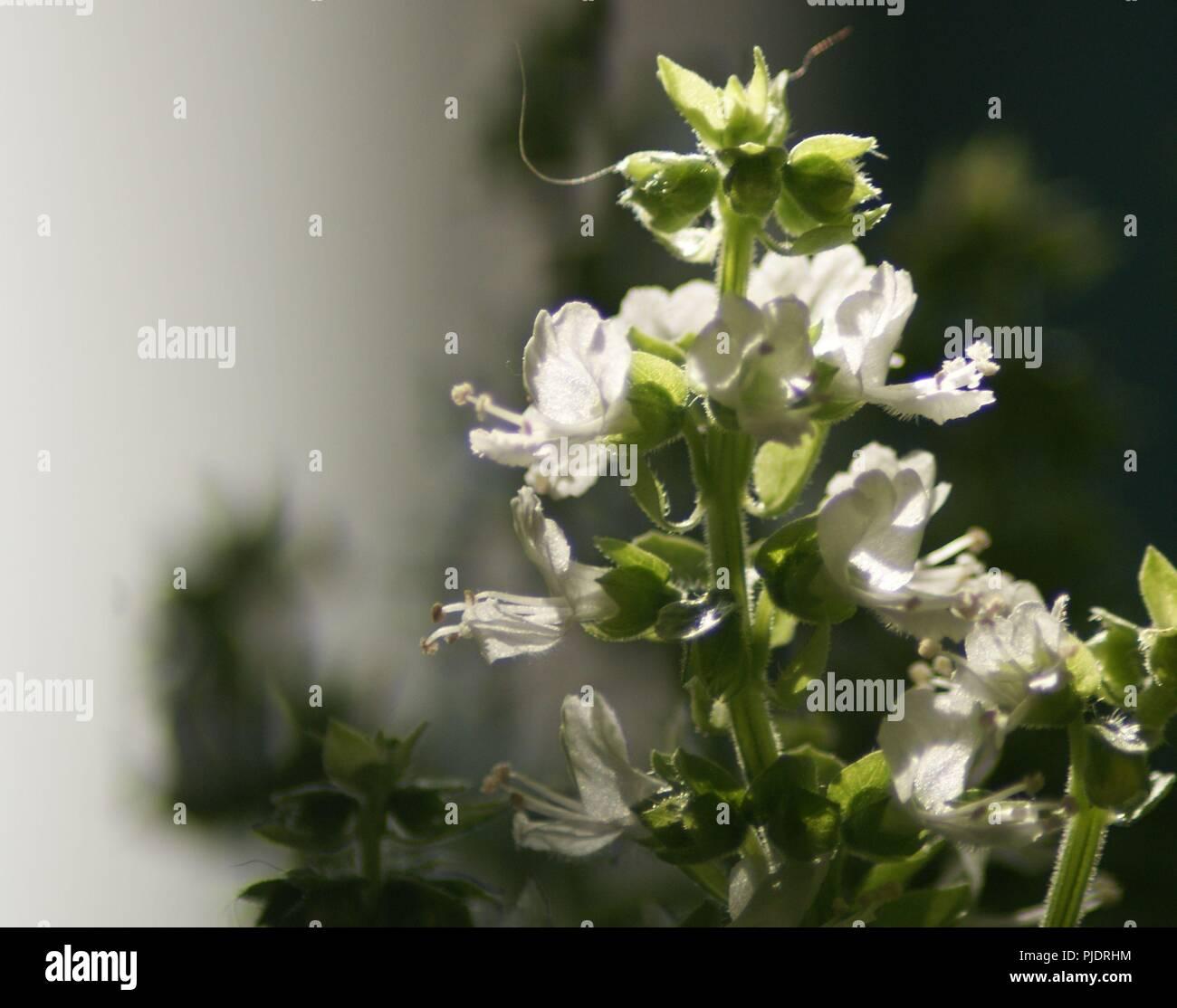 Fleur Blanche De Basilic A Petites Feuilles Ocimum Basilicum