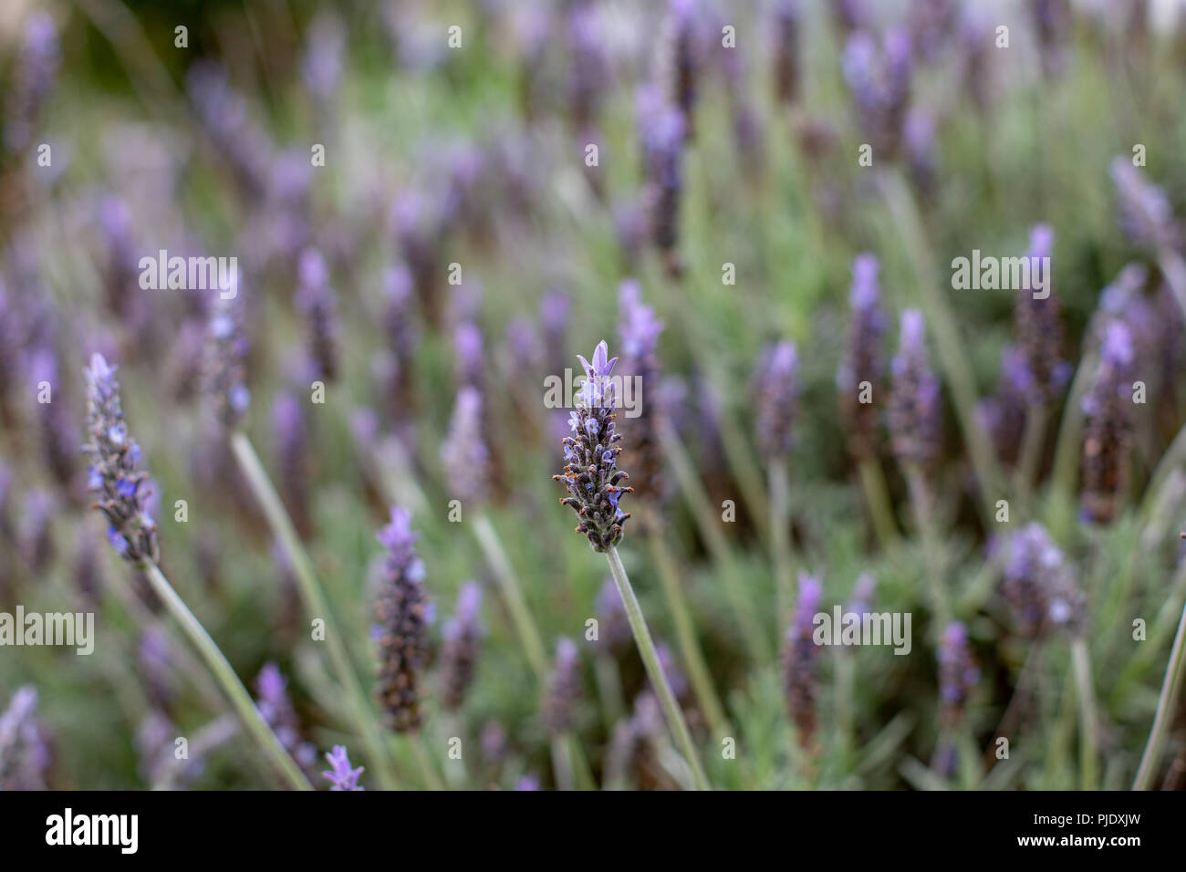 A Purple Lavender Flower Bush With A Selective Focus In Adelaide
