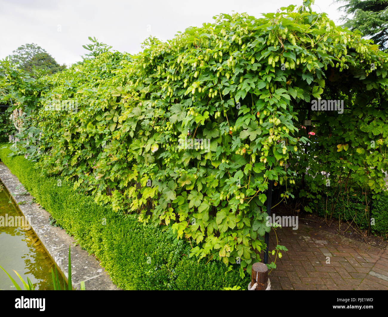 Hops, Humulus lupulus, covers an archway over a path in the Physic Garden at Buckfast Abbey, Devon, UK - Stock Image