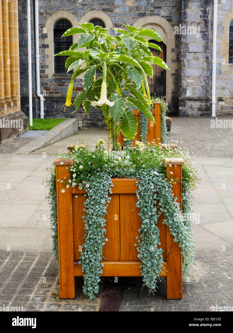 Wooden planter at Buckfast Abbey with Brugmansia and Dichondra 'Silver Falls. - Stock Image